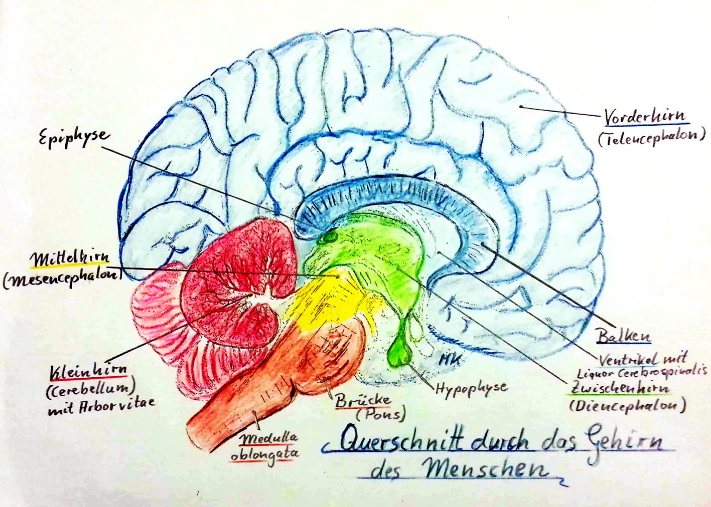 Gehirnzeichnung